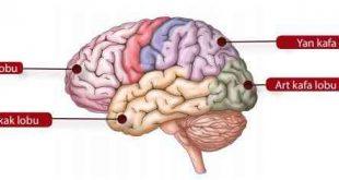Beynin yapısı